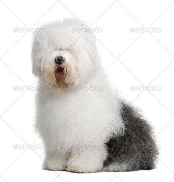 Old English Sheepdog, 3 Years old, sitting in front of white background - Stock Photo - Images