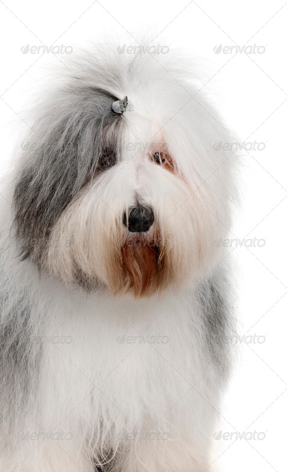 Old English Sheepdog, 2 Years old, in front of white background - Stock Photo - Images