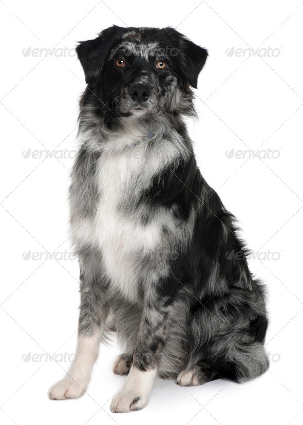Australian Shepherd dog, 10 Months old, sitting in front of white background - Stock Photo - Images