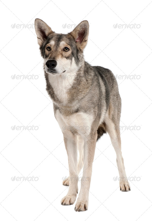 Saarlooswolf dog, 3 years old, standing in front of white background - Stock Photo - Images