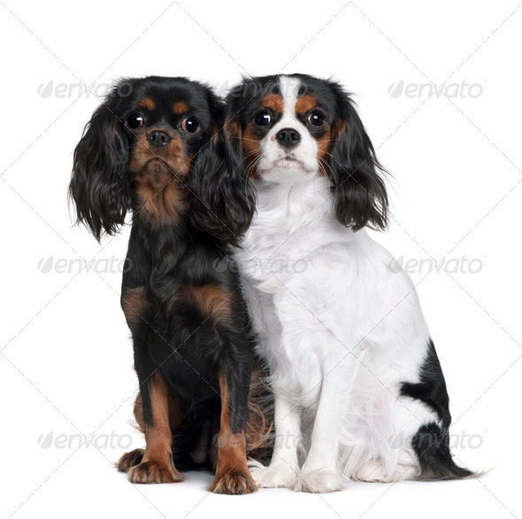 Two Cavalier King Charles Spaniels, 8 Months and 9 Month old, sitting in front of white background - Stock Photo - Images