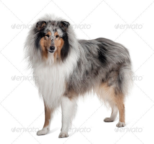 Sheltie dog standing in front of white background, studio shot - Stock Photo - Images