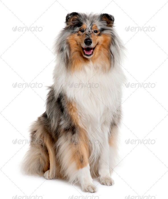 Rough Collie, 18 months old, sitting in front of white background - Stock Photo - Images