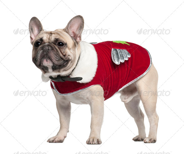 French Bulldog in red outfit, 2 Years old, standing in front of white background - Stock Photo - Images