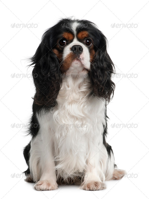 Cavalier King Charles, 2 Years old, sitting in front of white background - Stock Photo - Images