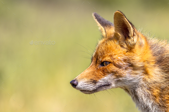Red Fox portrait side - Stock Photo - Images