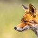 Red Fox portrait side - PhotoDune Item for Sale