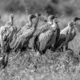 White backed vulture group in black and white - PhotoDune Item for Sale