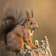 Red squirrel eating on trunk - PhotoDune Item for Sale