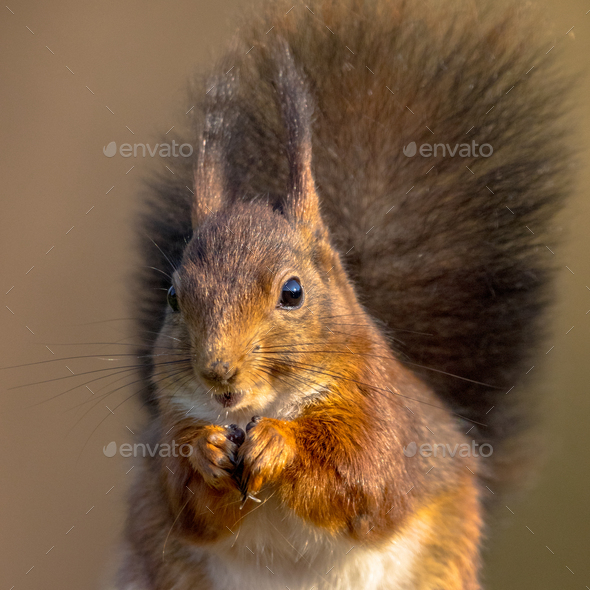 Red squirrel eating headshot - Stock Photo - Images