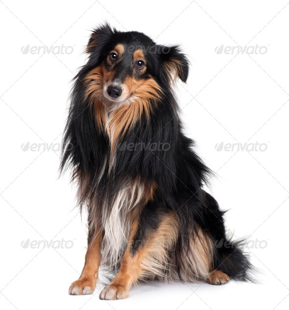 Sheltie dog, 18 months old, sitting in front of white background - Stock Photo - Images