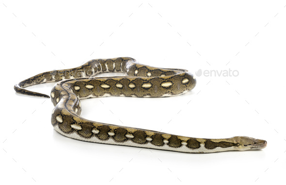 Reticulated python in studio - Stock Photo - Images