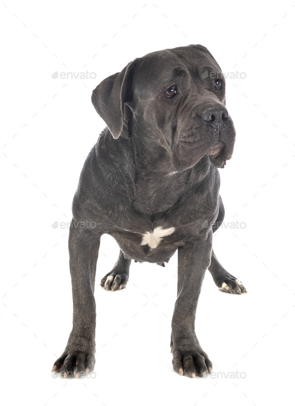 cane corso in studio - Stock Photo - Images