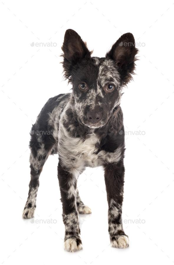 puppy mudi in studio - Stock Photo - Images