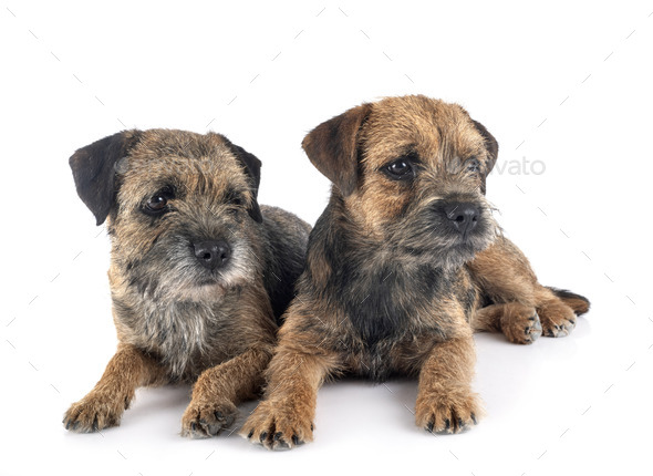 border terriers in studio - Stock Photo - Images