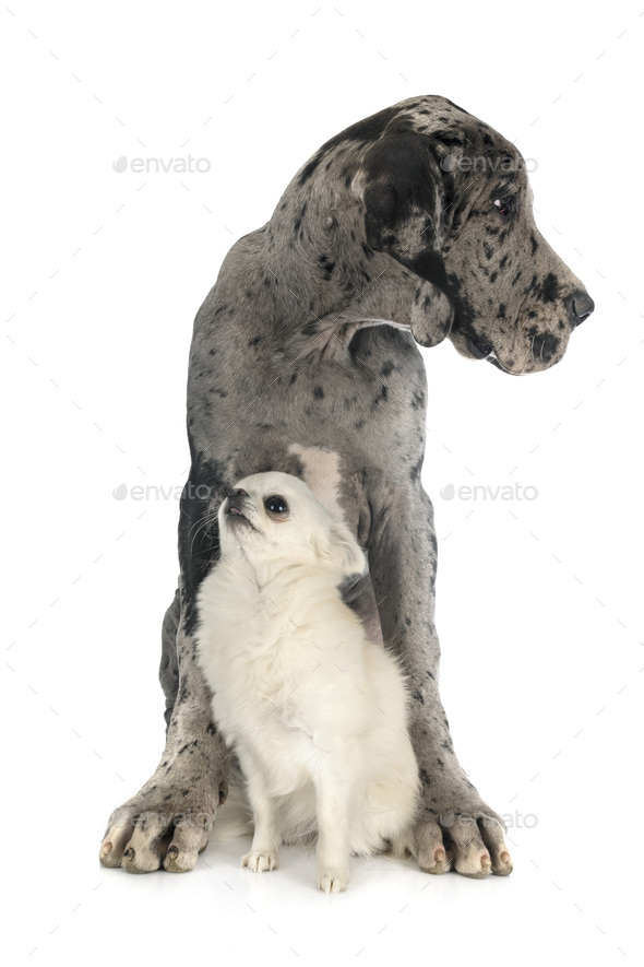 puppy great dane and chihuahua - Stock Photo - Images