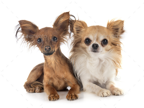 Russkiy Toy and chihuahua - Stock Photo - Images