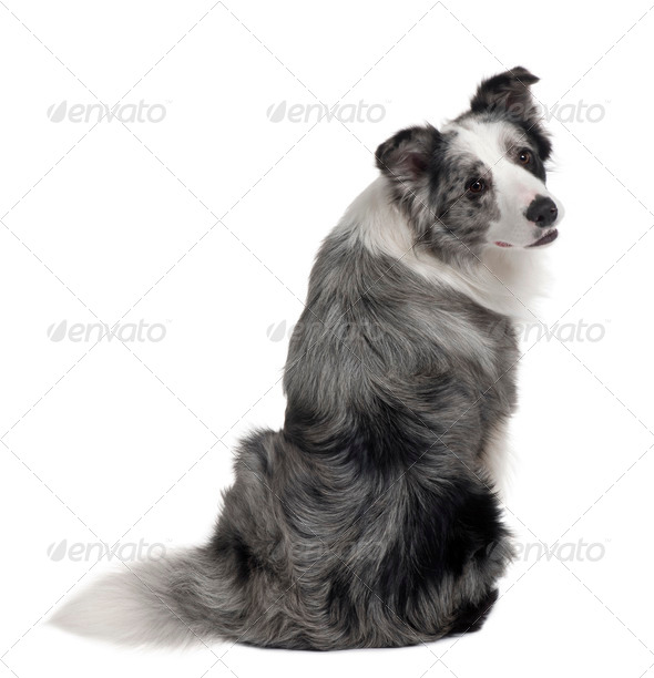 Border Collie, 1 years old, sitting in front of white background - Stock Photo - Images