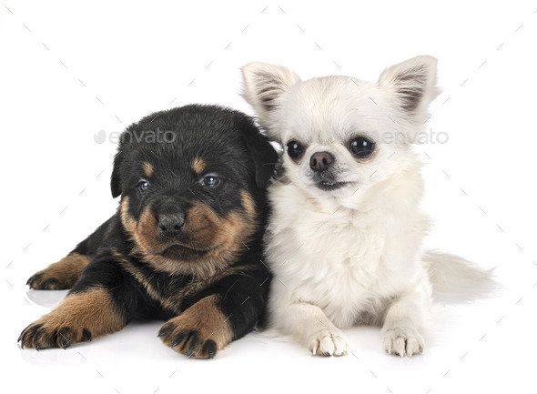 puppy rottweiler and chihuahua - Stock Photo - Images