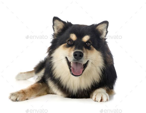 Finnish Lapphund in studio - Stock Photo - Images