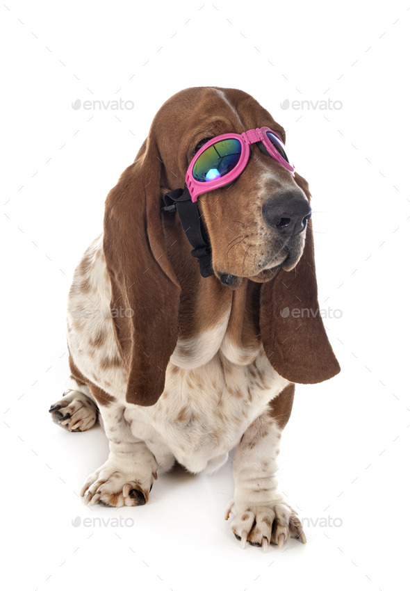basset hound in studio - Stock Photo - Images