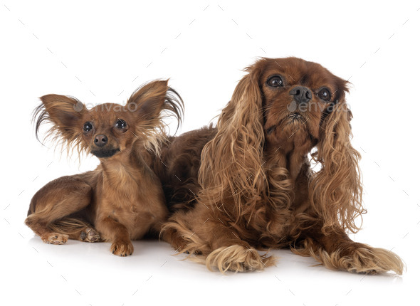 Russkiy Toy and cavalier king charles - Stock Photo - Images