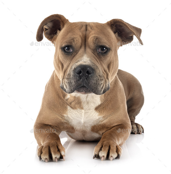 staffordshire bull terrier - Stock Photo - Images