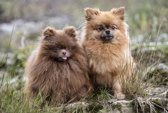 pomeranians in nature - Stock Photo - Images
