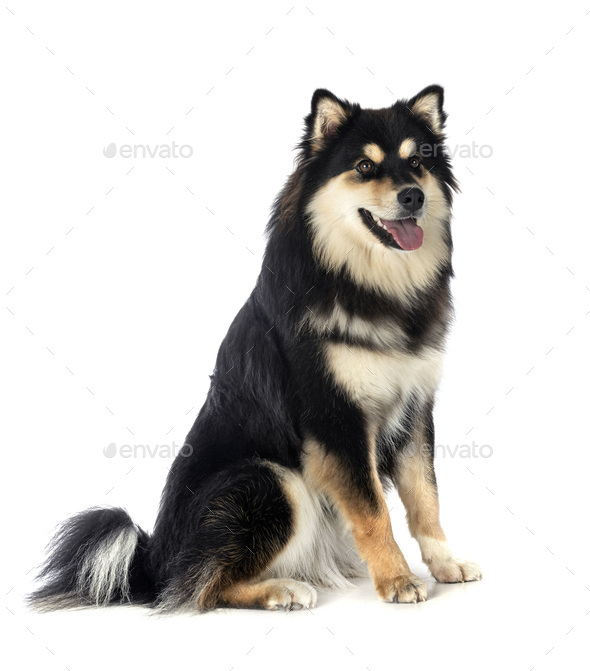 Finnish Lapphund in studio - Stock Photo - Images