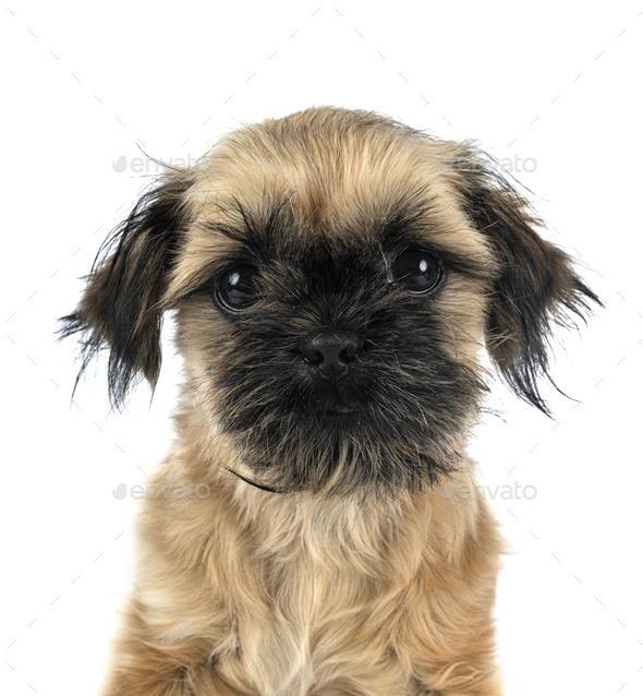 puppy shih tzu - Stock Photo - Images