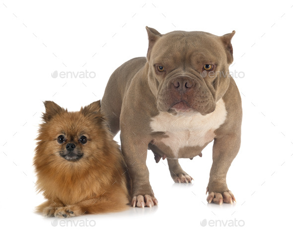 american bully and spitz - Stock Photo - Images