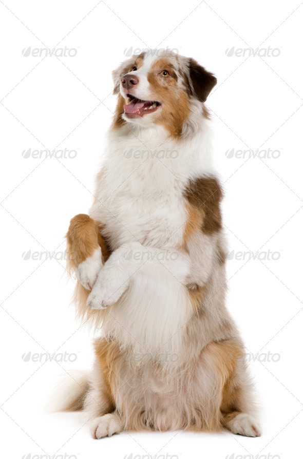 Australian Shepherd, 4 Years Old, standing on hind legs in front of white background - Stock Photo - Images