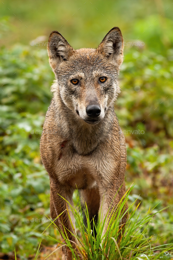 A beautiful grey wolf with orange eyes portraited in the forest - Stock Photo - Images