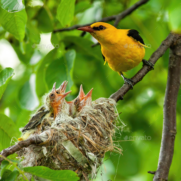 Male golden oriole sitting next to nest with young hatchlings - Stock Photo - Images