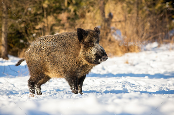 Wild boar, sus scrofa, standing and listening on a glade in winter - Stock Photo - Images