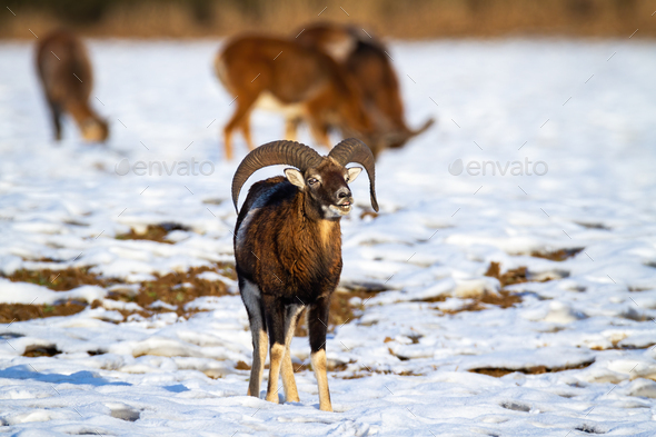 Mouflon ram with curved horns smelling on snow in winter - Stock Photo - Images