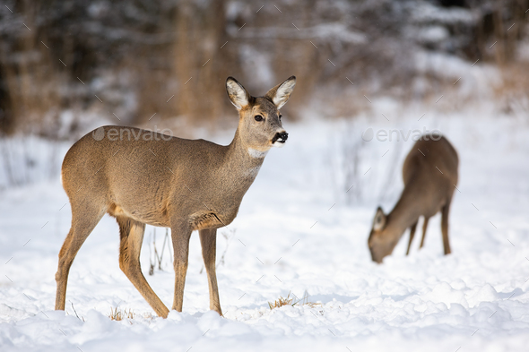 A pair of adult roe deer feeding themselves on the snowy field in winter - Stock Photo - Images