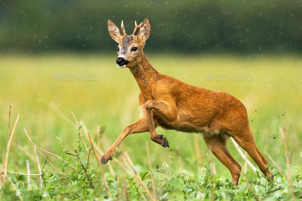 Young roe deer buck with small antlers caught in action of running in high speed - Stock Photo - Images