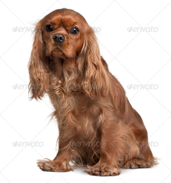 Cavalier King Charles, 18 Months old, sitting in front of white background - Stock Photo - Images