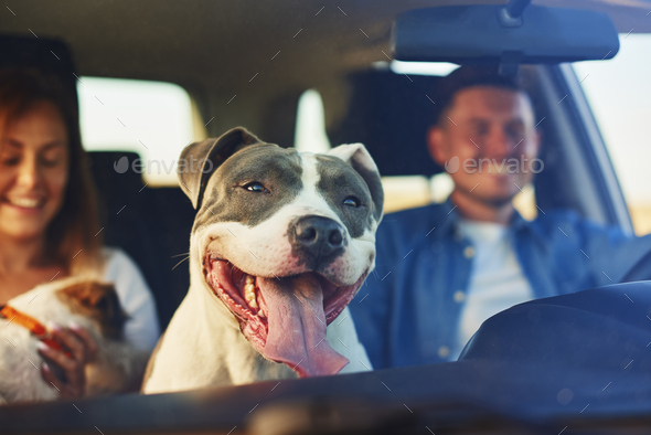 Happy dog as passenger in car - Stock Photo - Images