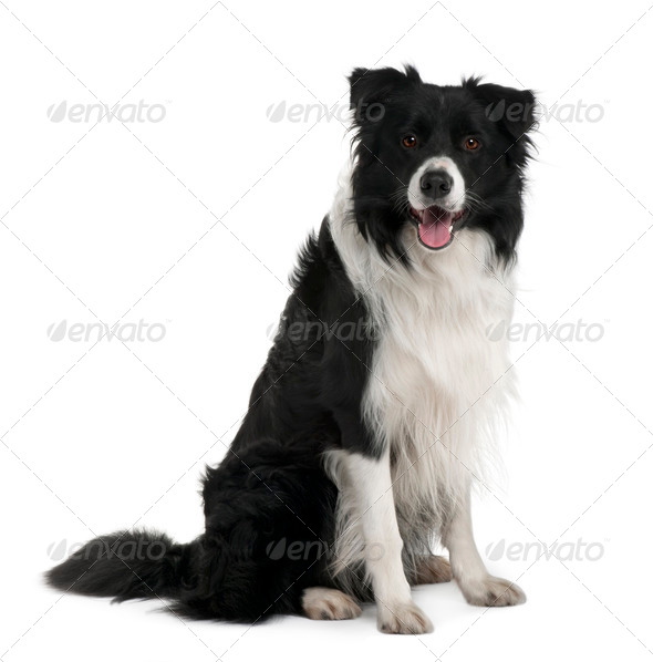 Border Collie, 3 years old, sitting in front of white background - Stock Photo - Images