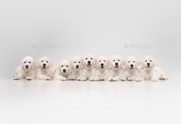 Studio shot of english cream golden retrievers isolated on white studio background - Stock Photo - Images