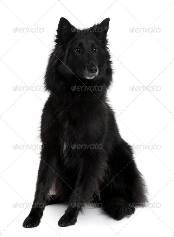 Belgian Shepherd Dog, 2 Years old, sitting in front of white background - Stock Photo - Images