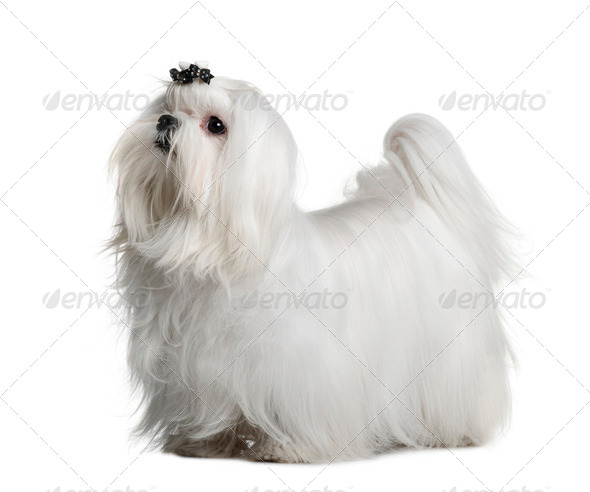 Maltese dog, 1 year old, standing in front of white background - Stock Photo - Images