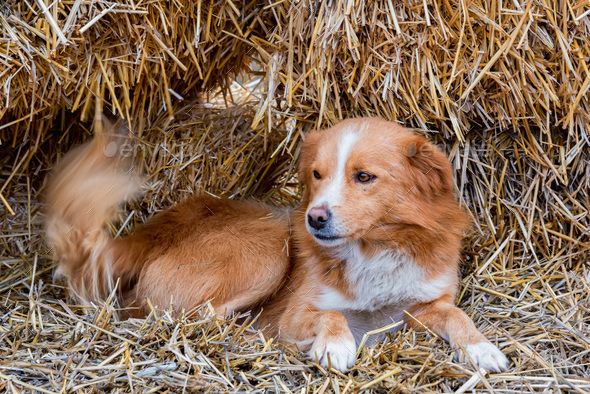 Cute brown farm dog rests on hay outdoors - Stock Photo - Images