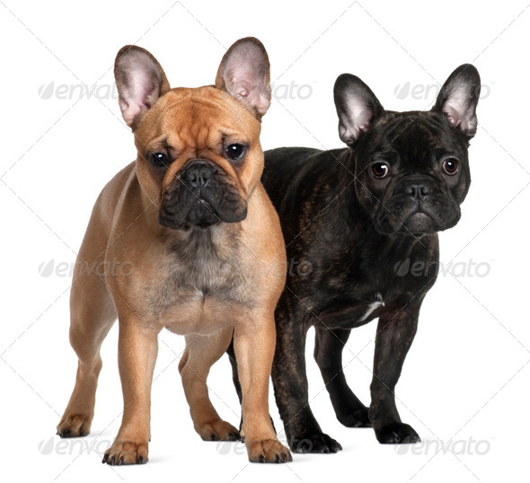 Two French Bulldogs, 1 year old and 6 Months old, standing in front of white background - Stock Photo - Images