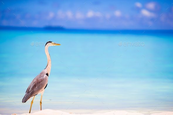 Grey heron standing on white beach on Maldives island - Stock Photo - Images