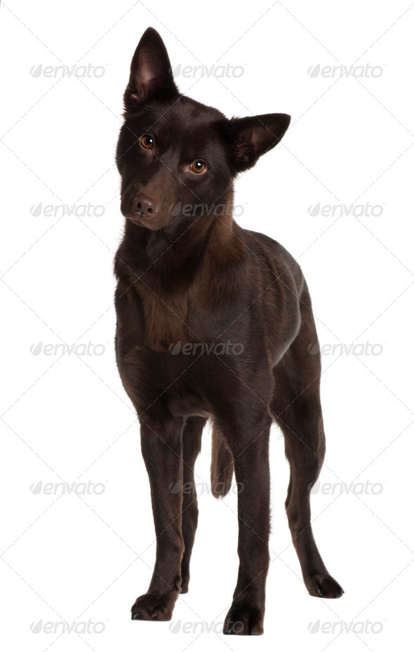 Australian Kelpie, 11 years old, standing in front of white background - Stock Photo - Images