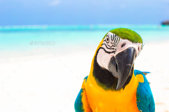 Closeup colorful bright parrot on white sandy beach at tropical island - Stock Photo - Images