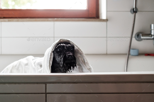 A wet black schnauzer dog in towel is bathing standing in bathroom - Stock Photo - Images